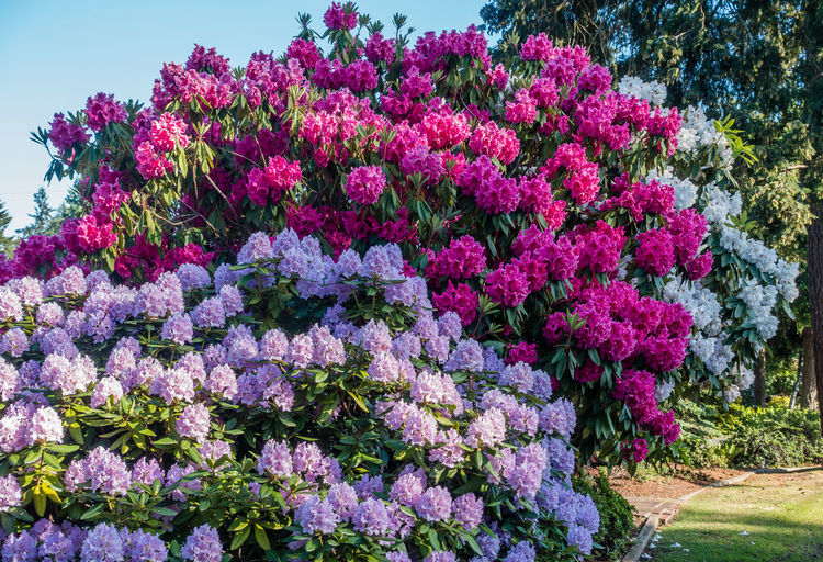 Huge Rhododendrons bloom in Burien, Washington. Burien Pacific Northwest  Washington State Flower Beauty In Nature Blossom Blossoms  Botany Day Flower Flower Head Fragility Freshness Growth Nature No People Outdoors Pink Color Plant Purple Rhododendrons Springtime Vibrant Color