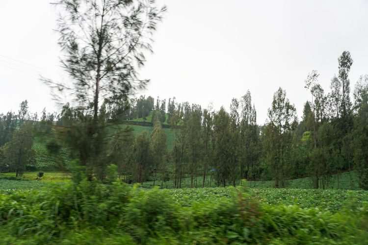 Green potato fields on Mount Bromo. Plant Tree Land Sky Tranquility Growth Green Color Beauty In Nature Nature Tranquil Scene Landscape Day Environment Field Scenics - Nature No People Clear Sky Forest Non-urban Scene Grass Outdoors Coniferous Tree Bromo Bromo-tengger-semeru National Park Bromo Mountain