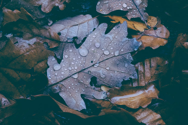 High Angle View Of Wet Maple Leaves During Rainy Season