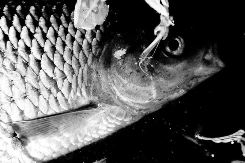 DEAD FISH Rotfeder Animal Wildlife Animals In The Wild Black Background Close-up Dead Animal Fish Fishing Indoors  Marine Nature One Animal One Person Profile View Redfeathers Sea Sea Life Swimming UnderSea Underwater Vertebrate Water Plastic Environment - LIMEX IMAGINE The Photojournalist - 2018 EyeEm Awards