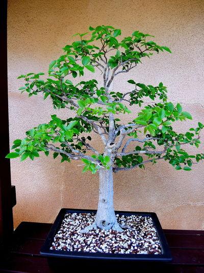 Japanese Garden Bonzai Tree Day Growth Nature No People Tiny Plants Tiny Trees