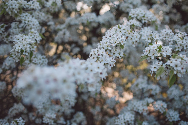 Springtime Decadence Growth Beauty In Nature Plant Flower Fragility Selective Focus Vulnerability  Flowering Plant Freshness Day Close-up No People Nature White Color Full Frame Outdoors Tree Tranquility Lichen Backgrounds Flower Head Cherry Blossom