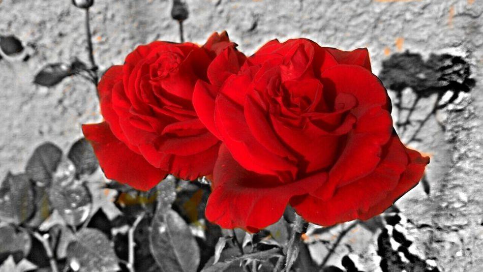 Twin VI Flowers Red EyeEm Nature Lover EyeEm Best Shots
