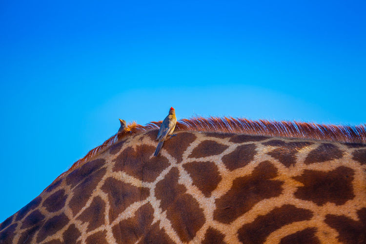 Low angle view of birds perching on giraffe against clear blue sky
