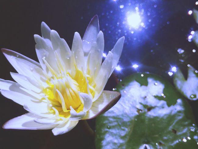 ดอกบัว Lotus Lotus Water Lily Yellow Lotus Blossom Water Lily BestEyeemShots EyeEm Best Shots EyeEm Gallery Showcase July Showcase July 2016 Nature Beauty In Nature In Samutprakan Thailand