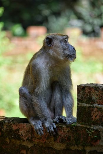 Monkey Macaque Sitting Primate Malaysia Ipoh One Animal Outdoors AnimalApe Nature Portrait Animal Wildlife Animals In The Wild No People Close-up Day Cute Bricks Brick Wall Animals In The Wild Visit Ipoh