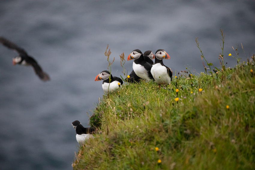 EyeEm Best Shots Puffin Tadaa Community Animal Animal Family Animal Wildlife Animals In The Wild Beauty In Nature Bird Day Faroe Islands Flock Of Birds Grass Group Of Animals Land Medium Group Of Animals Nature No People Outdoors Plant Selective Focus Sky Vertebrate Water Young Animal