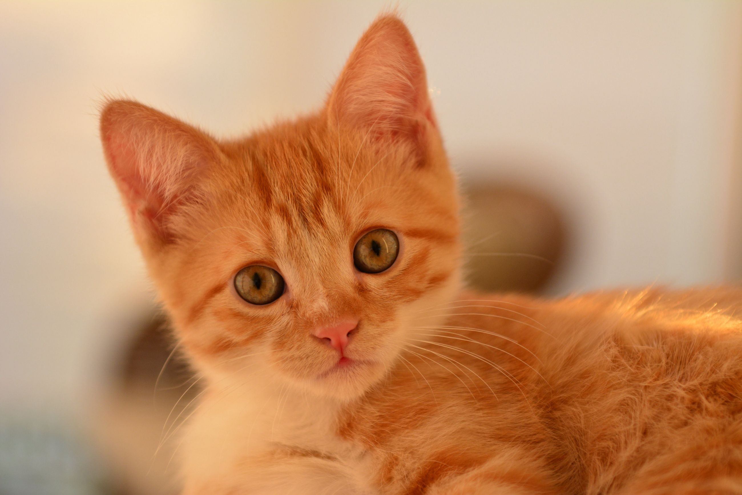 domestic cat, pets, feline, domestic animals, animal themes, one animal, mammal, cat, looking at camera, whisker, portrait, ginger cat, focus on foreground, indoors, no people, close-up, day, persian cat