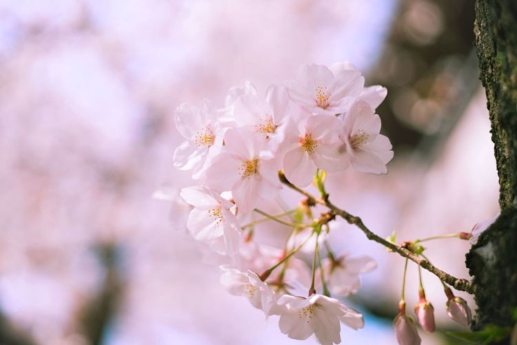 April Springtime In Blossom Blossoms  Blossoming  Cherry Blossom Cherry Tree Sakura EyeEm Selects Flower Plant Flowering Plant Freshness Fragility Beauty In Nature Growth Springtime Tree Vulnerability  Blossom Branch Close-up Nature Pink Color No People Focus On Foreground Inflorescence Flower Head Day