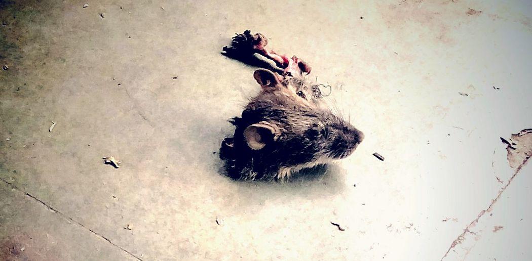 Rat Head