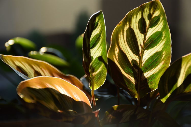 Calathea leaves ready to close up on night