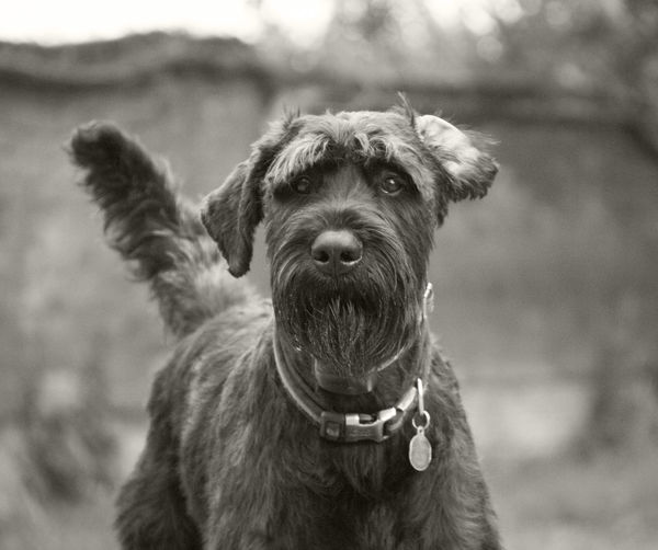 Animal Themes Close-up Day Dog Domestic Animals Focus On Foreground Giant Schnauzer Looking At Camera Mammal Nature No People One Animal Outdoors Pets Portrait Schnauzer Schnauzers Sky
