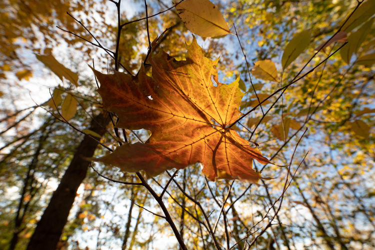 Autumn Change Plant Part Leaf Tree Plant Orange Color Nature Branch Close-up Focus On Foreground Maple Leaf Day No People Beauty In Nature Outdoors Maple Tree Low Angle View Yellow Leaf Vein Natural Condition Leaves Autumn Collection Fall