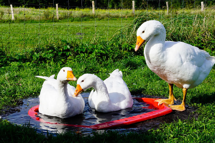 Platz da, jetzt komme ich Animal Family Animal Themes Bath Time Bird Birds Farm Farm Life Gooses Family Gänse In The Country In The Countryside Nature Outdoors St. Martin St. Martin's Day Water Birds White Color
