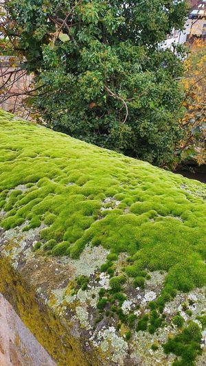 Tree Tea Crop