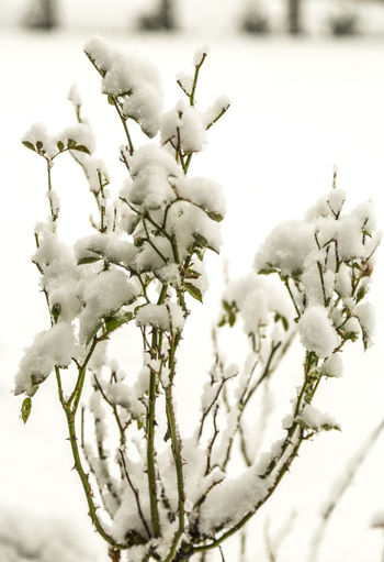 Close-up Erster Schnee First Snow Pflanze  Plant Schnee Snow Winter