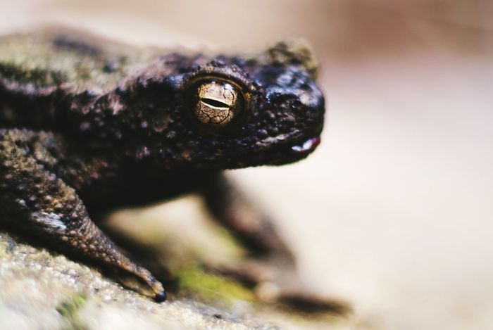 frog eyes Frog Frog Wildlife Katak Asian Frog Eyes Close-up Wild Wildlife & Nature Nature Frogs Frog Perspective No People Day Nature Outdoors