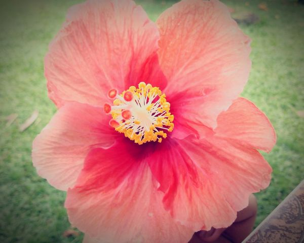 Hibiscus .... Wallis And Futuna