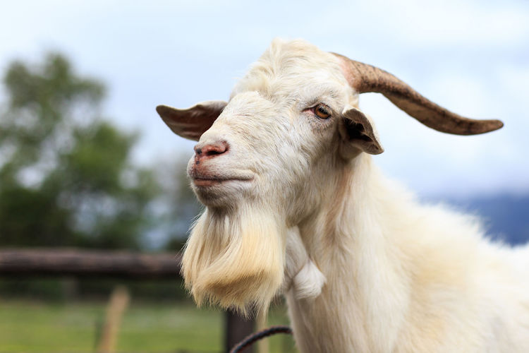 CAPRA Farm Goat Horns Animal Themes Beard Close-up Day Domestic Animal Domestic Animals Fauna Focus On Foreground Livestock Mammal Nature No People One Animal Outdoors Sky