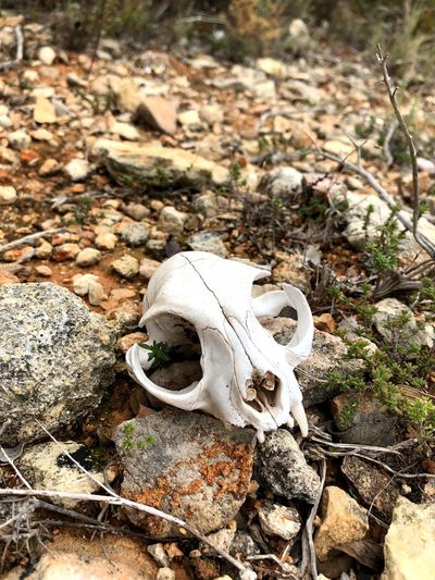 Animal Skull Animal Bone High Angle View Day No People Skeleton Outdoors Close-up Nature Animal Themes EyeEmNewHere