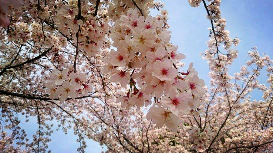 Cherry Blossoms Cherry Blossom In A Blue Sky Beautiful Nature Nice Day