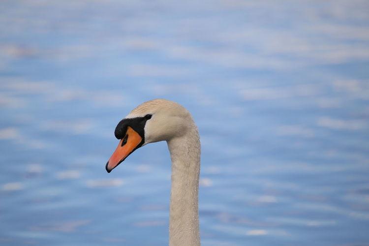 Animals In The Wild Water Bird Relax Animal Wildlife Bird Swan Flamingo Water Beak Ostrich Close-up Black Swan Black Swan White Swan Mute Swan Freshwater Bird Cygnet Swimming Animal