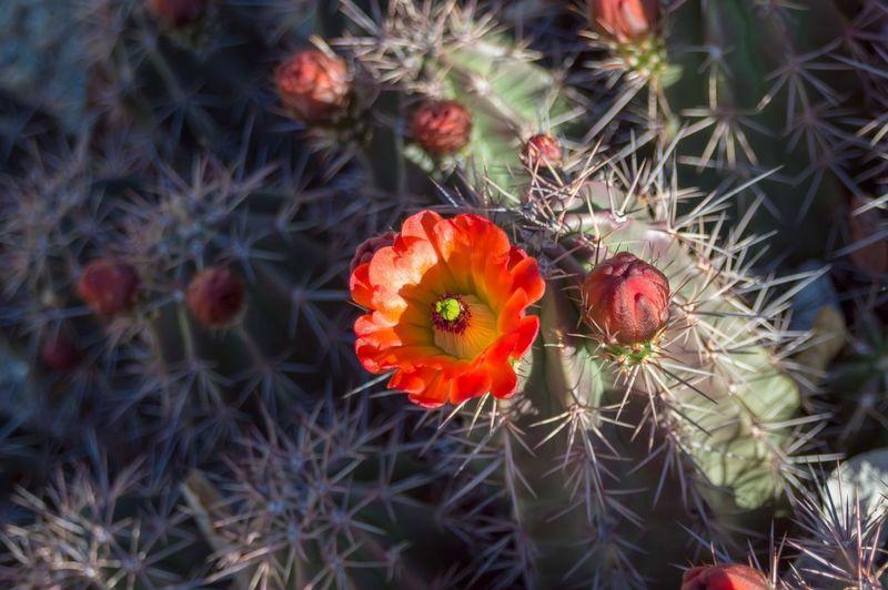 Cacti bloom