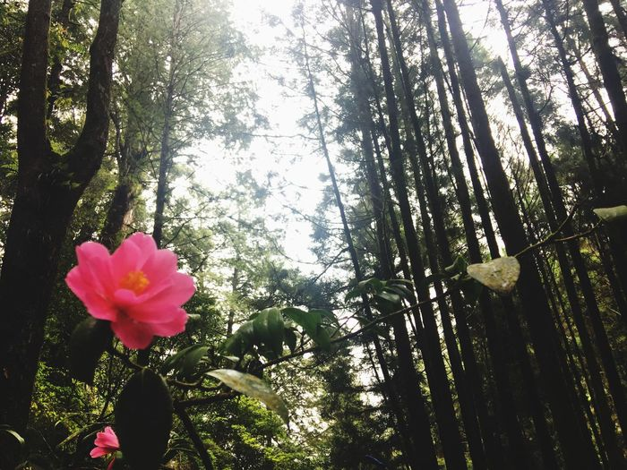 Pinetree Pine Forest Bigtree Pine Tree Forest Adventure Forestry Forest View Forest Flower Forest Photography Green Background Green Nature Pink Flower Natural Blooming Blooming Flower Flower Collection Alishan Alishan Mountain Alishan Forest Train Alishan,Taiwan