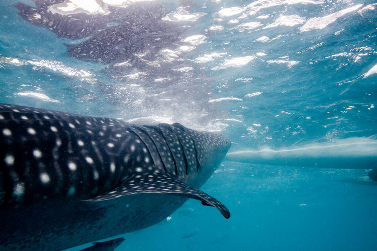 Whaleshark at the Philippines. Animal ASIA Blue Diver Diving Divingphotography Nature Photography Naturephotography Ocean Philippines Scuba Diver Scuba Diving Scubadiving Sea Shark Travel Destinations Traveller Travelling Underwater Water Whale Shark Whale Watching Whaleshark Wanderlust