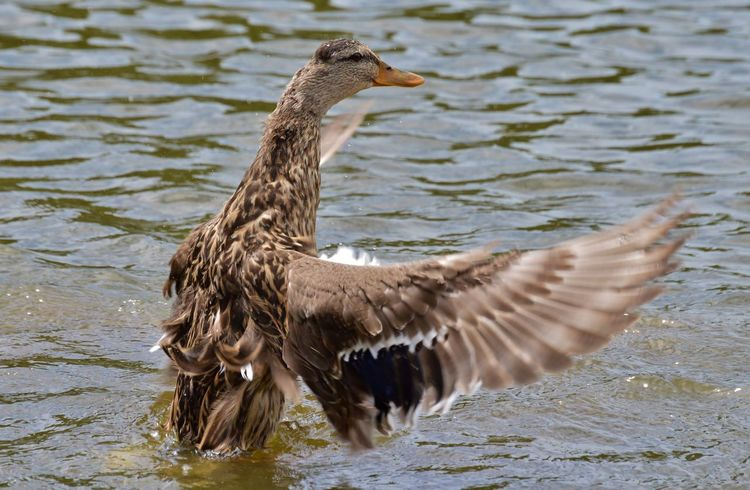 Animal Animal Themes Animals In The Wild Beak Bird Check This Out Day Duck Feathers Female Duck Hello World I Can Fly Nature Nikon D3200 One Animal Outdoors Showcase: February Side View Spread Your Wings Water Water Fowl Wildlife Wings Zoology