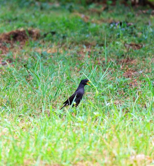 Bird Perching Raven - Bird Animal Themes Grass Green Color Plant