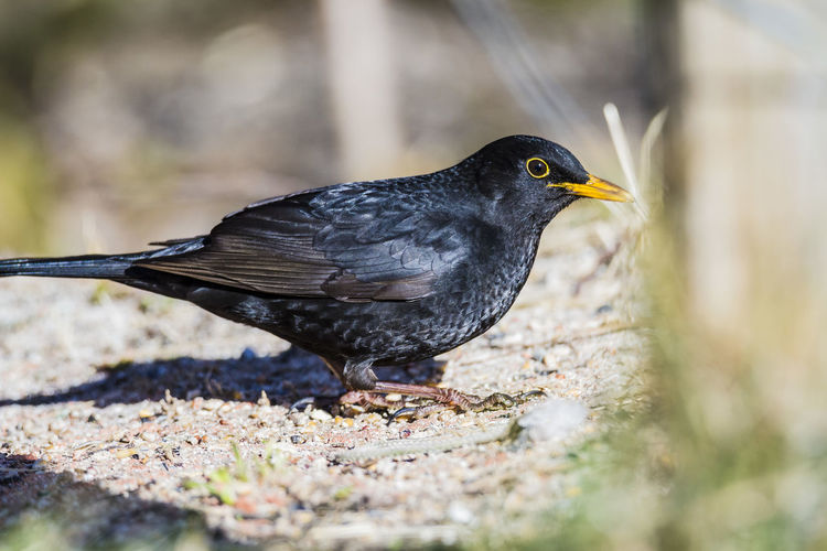 Blackbird profile Bird Animal Themes Animal Animal Wildlife Animals In The Wild Vertebrate One Animal Day No People Close-up Selective Focus Black Color Blackbird Nature Perching Outdoors Side View Focus On Foreground Looking Full Length
