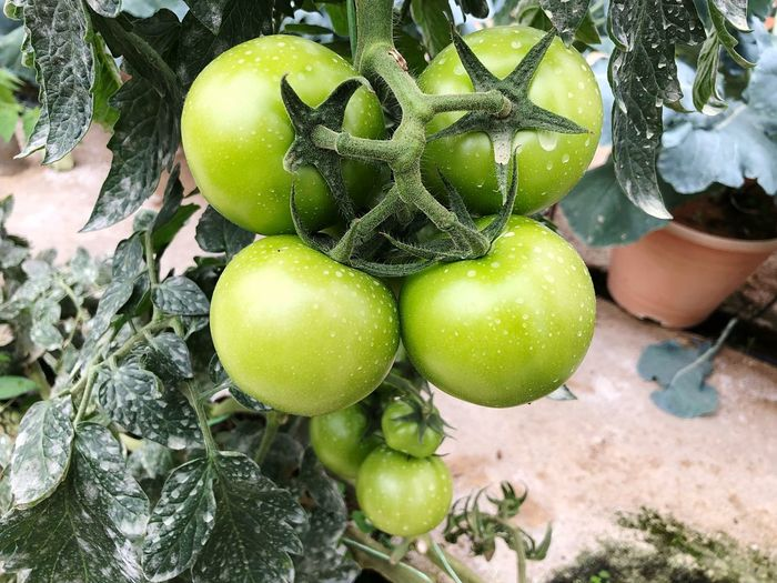 Growing Tomato Plant Tomato Fruit Plant Growth Green Color Food And Drink Food Day Freshness Nature Close-up