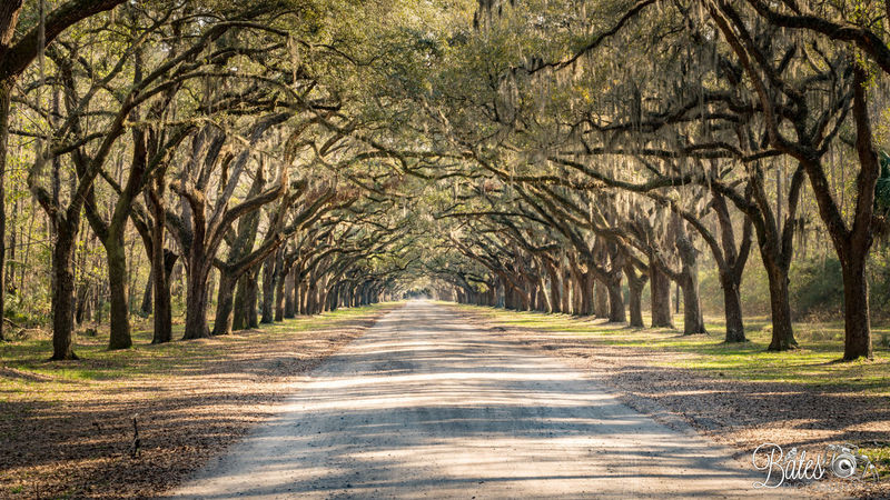 Drive Way Georgia Perspectives On Nature Savannah Georgia South Wormsloe Forrest Gump Plantation Southern Live Oak Tree Lined Wormsloe Historic Site