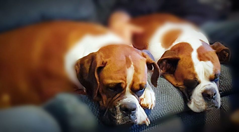 Two of a kind. Dogs Boxer Dogs Furrybabies