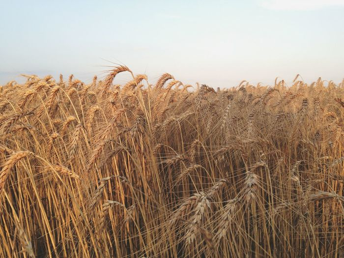 Wheat growing on agricultural field against sky