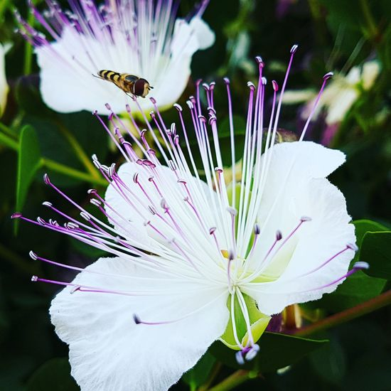 Flower Fragility Nature One Animal Beauty In Nature Insect Petal Day Capperi Cappero
