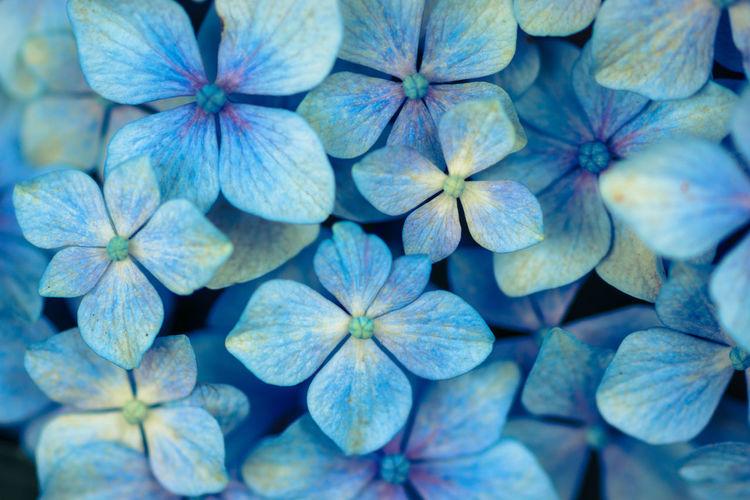 Full frame shot of hydrangea flowers