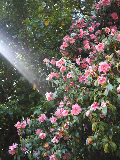 Wedding Shafts Of Sunlight Pink Pink Flower Azalea Plant Flower Flowering Plant Growth Beauty In Nature Pink Color Fragility Botany Sunlight Vulnerability