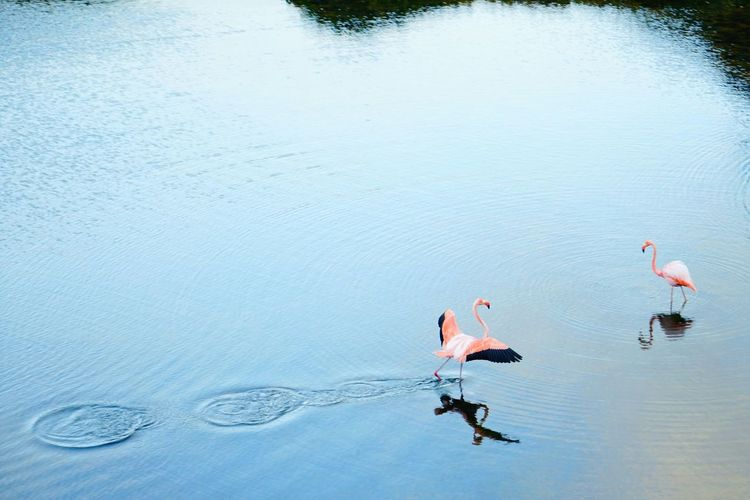 High angle view of flamingos in lake