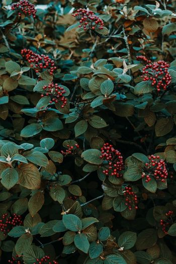 rowanberry Red Berries Rowanberry Rowan Berries Leaves Autumn Backgrounds Full Frame Close-up Fallen Fallen Change Maple Autumn Collection Maple Tree Fall Season  Dried Bauble Growing Christmas Decoration Dry Fallen Leaf Leaf Maple Leaf Christmas Ornament Blooming Tree Topper Flower Head Christmas Lights