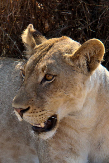 Animal Head  Animal Themes Animal Wildlife Animals In The Wild Close-up Day Lion Lion - Feline Lioness Mammal Mikumi National Park No People One Animal Outdoors Tanzania Tanzania National Park