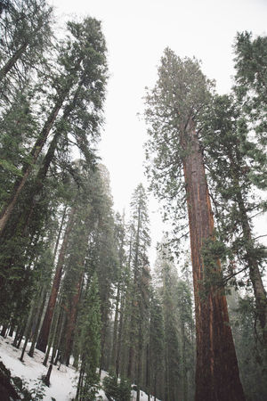 Beauty In Nature Cloudy Day Forest Growth Low Angle View Mountain Nature Nature No People Outdoors Road Road Trip Scenics Sequoia Sequoia National Park Sky Snow Snowing Tranquil Scene Tranquility Tree Tree Tree Trunk Trees