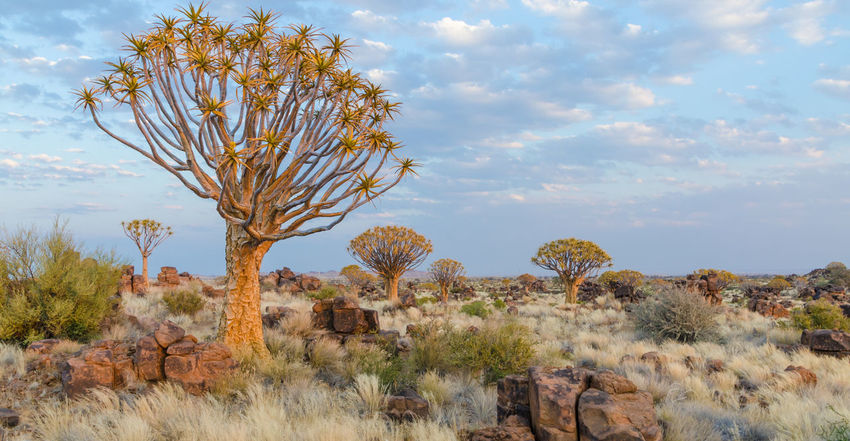 Quivertree  African Landscape Africa Nature Namibia Quivertree Forest Quiver Tree