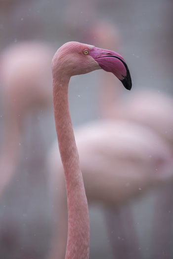 Greater flamingo / Phoenicopterus roseus [Canon EF 300mm f/2.8 L IS II USM] Animal Animal Body Part Animal Head  Animal Neck Animal Themes Animal Wildlife Animals In The Wild Beak Bird Close-up Day Flamingo Focus On Foreground Nature No People One Animal Outdoors Pink Color Vertebrate Water