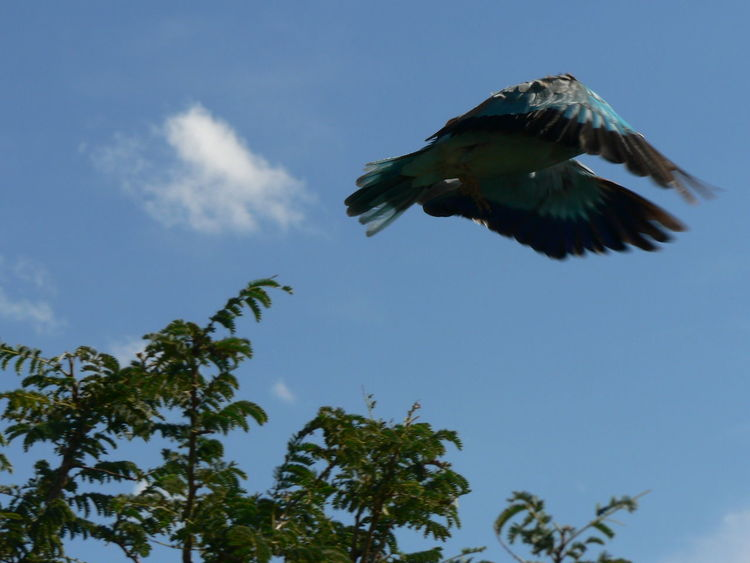 Coracias Caudatus Kruger Park Animal Wildlife Animals In The Wild Beauty In Nature Bird Birds Of South Africa Flight Flying Krugernationalpark Lilac Breasted Roller\ Low Angle View Mid-air Motion One Animal Outdoors Sky Spread Wings Troupant