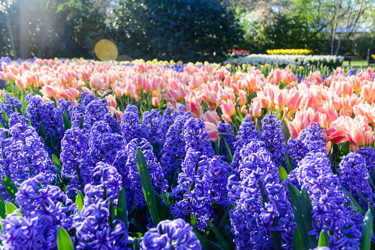Close-up of fresh purple flowers in park