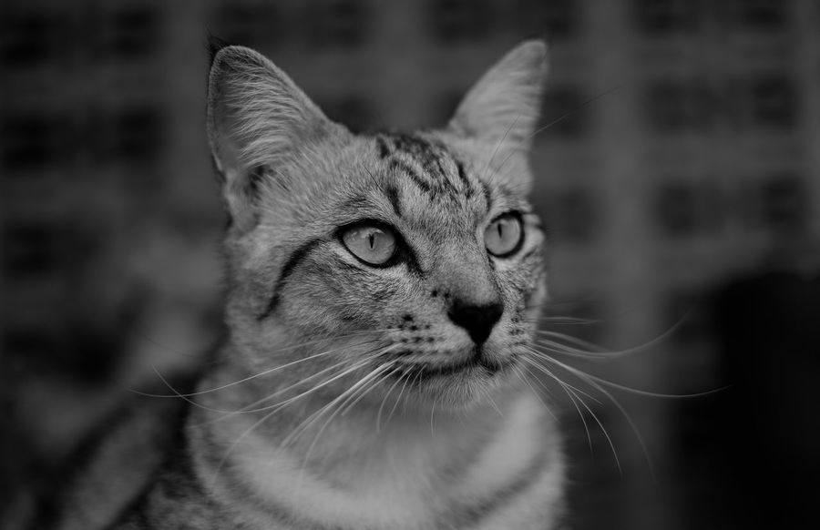 Dark Tiger Cat Animal Themes Black And White Cat♡ Close Up Close-up Day Domestic Animals Domestic Cat Feline Focus On Foreground Kitten Looking At Camera Mammal No People One Animal Outdoors Pets Portrait Whisker
