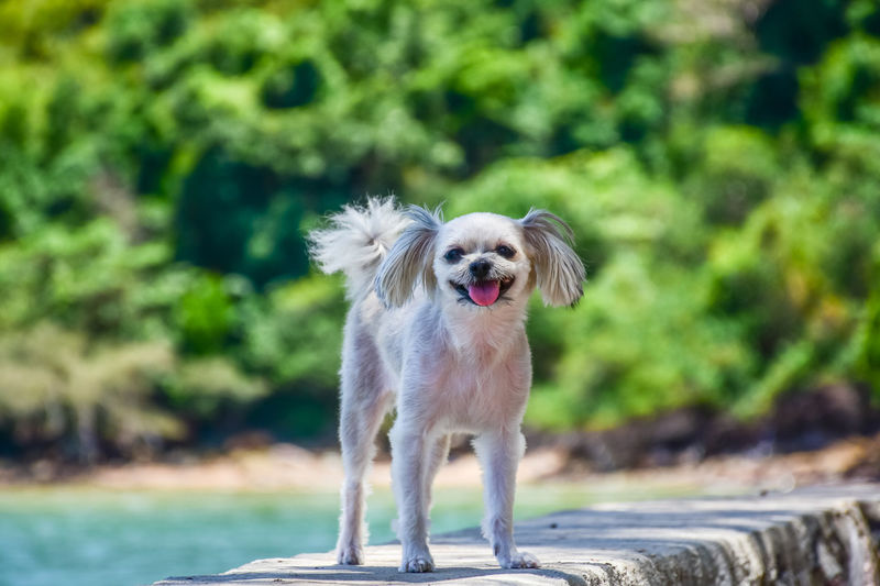 Animal Animal Themes Canine Day Dog Domestic Domestic Animals Focus On Foreground Front View Looking At Camera Mammal Mouth Open Nature No People One Animal Pets Portrait Running Small Standing Sunlight Vertebrate