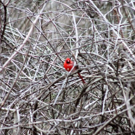 Animal Themes Animals In The Wild Bare Tree Bird Branch Close-up Day Nature No People One Animal Outdoors Perching Red Tree
